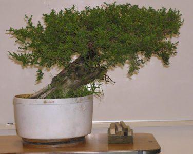 The Demonstration Tree - Juniper Procumbens Nana