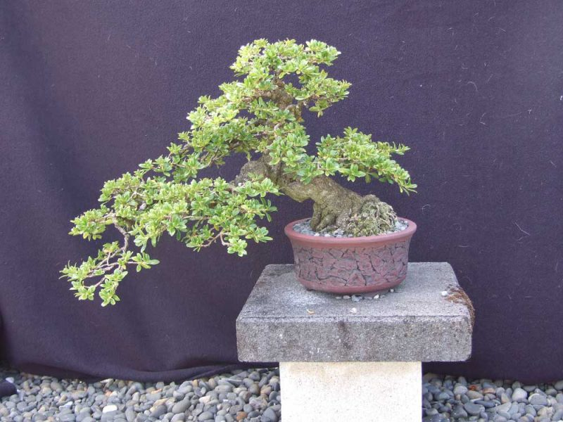 February 2018 - Hamilton Bonsai Club meeting